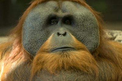 Photo: A Sumatran orangutan male named Chewbacca at the Sedgwick County Zoo.