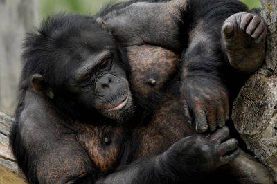 An endangered (IUCN) and federally endangered chimpanzee (Pan troglodytes) at the Sunset Zoo.