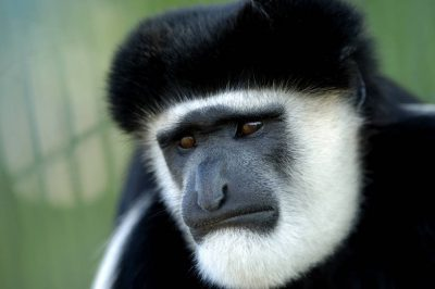 Black and white colobus monkey (Colobus guereza) at the Sunset Zoo in Manhattan, KS.