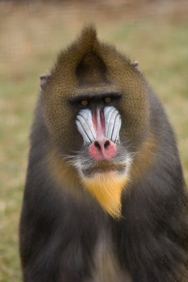 A mandrill (Mandrillus sphinx) at the Rolling Hills Wildlife Adventure. (IUCN: Vulnerable)