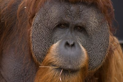 A critically endangered Sumatran orangutan (Pongo abelii) at Rolling Hills Wildlife Adventure.