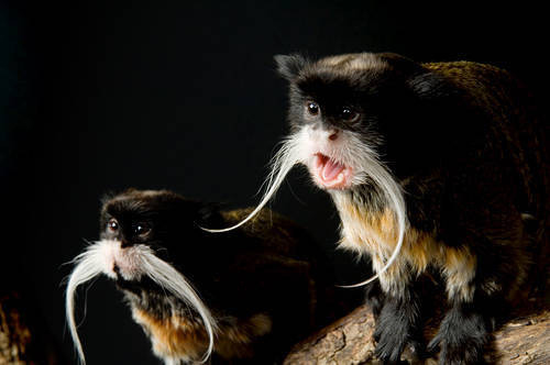 Picture of a vulnerable emperor tamarin (Saginus imperator) at the Cheyenne Mountain Zoo.