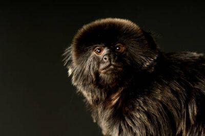Photo: A Goldei's monkey (Callimico goeldi) at the Cheyenne Mountain Zoo.