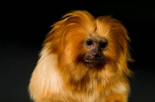 An endangered golden lion tamarin (Leontopithecus rosalia rosalia) at the Cheyenne Mountain Zoo.