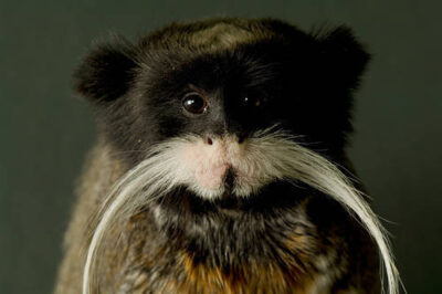 Picture of a vulnerable emperor tamarin (Saginus imperator) at the Riverside Zoo.