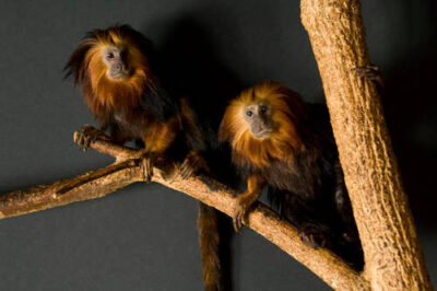 Picture of endangered golden-headed lion tamarins (Leontopithecus chrysomelas) at the Riverside Zoo.