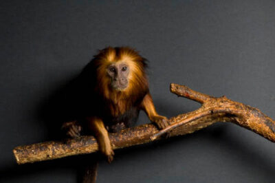 Golden-headed lion tamarin (Leontopithecus chrysomelas) at the Riverside Zoo. (IUCN: Endangered)