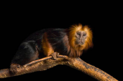 Picture of a golden-headed lion tamarin (Leontopithecus chrysomelas) at the Riverside Zoo. (IUCN: Endangered)