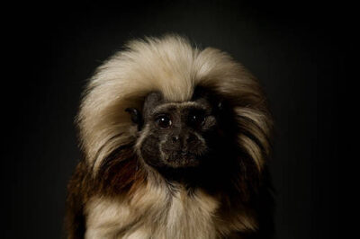 A cotton-top tamarin (Saguinus oedipus) at the Rolling Hills Wildlife Adventure. (IUCN: Endangered)