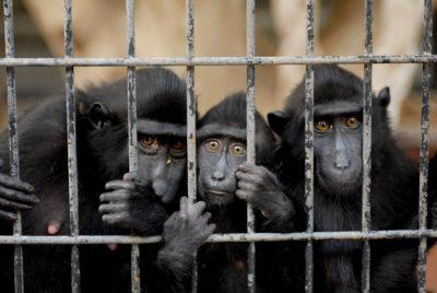 Critically endangered (IUCN) Celebes macaque (Macaca nigra).