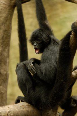 Photo: Black spider monkeys at the Omaha Zoo.