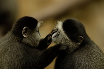 Photo: A blue monkey at the Omaha Zoo grooms another.