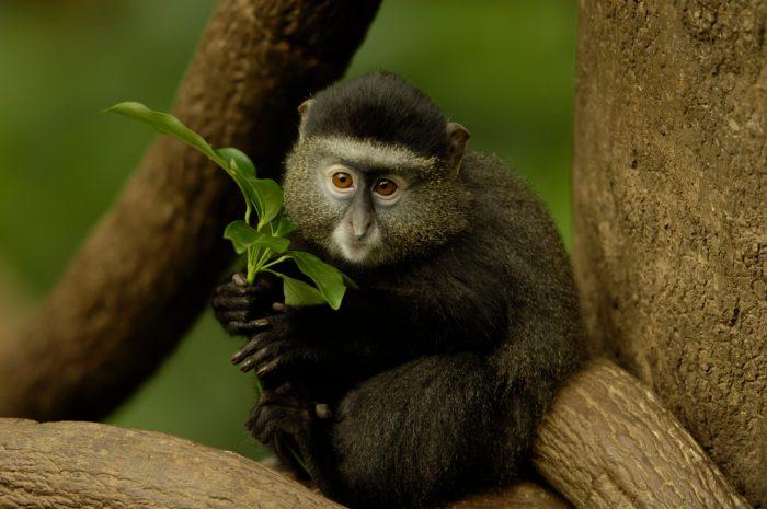 Photo: Blue monkeys from the Omaha Zoo's Lied Jungle.