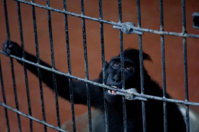 Photo: Suluawesi crested macaque (Macaca genus) in captivity.