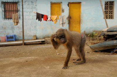 A captive, five-month-old mandrill (Mandrillus sphinx) in Malabo, Equatorial Guinea. (IUCN: Vulnerable)