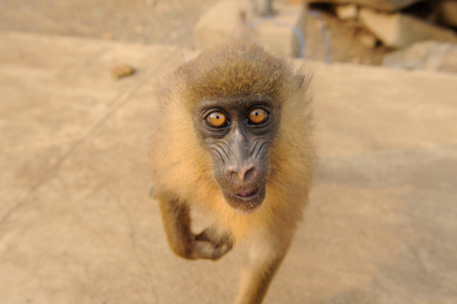 A captive, five-month-old mandrill (Mandrillus sphinx) in Malabo, Equatorial Guinea. (IUCN: Vulnerable)