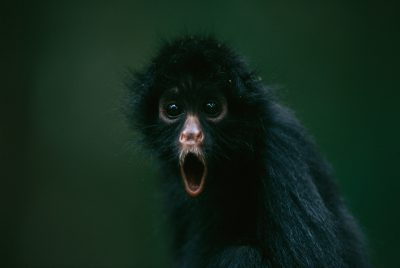 Photo: A spider monkey in Bolivia's Madidi National Park.