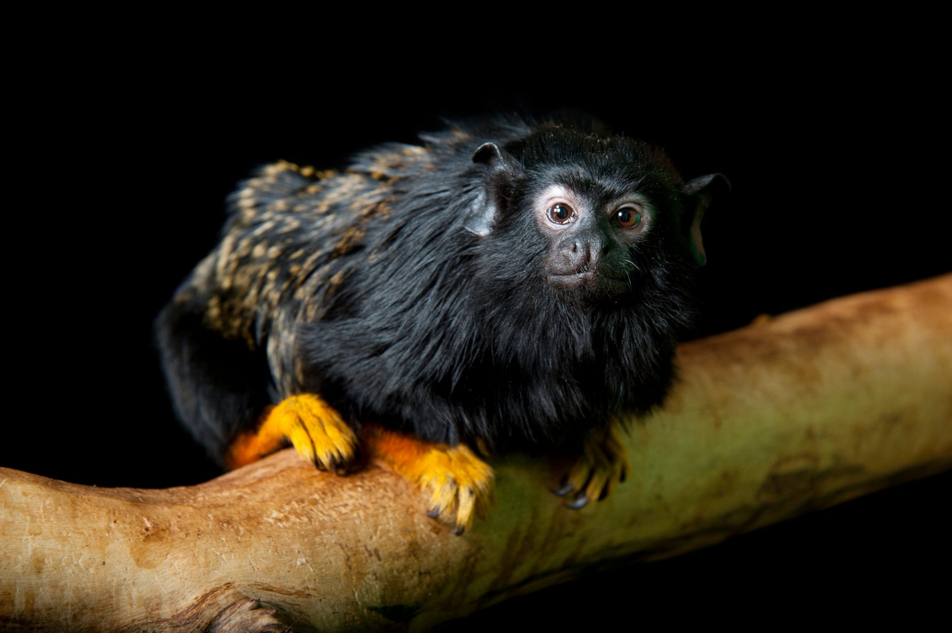 A yellow-handed tamarin (Saguinus midas) at the Miller Park Zoo. The future of this species is quite uncertain as it is going to be 'phased out' in favor of other more showy and popular small primate species.