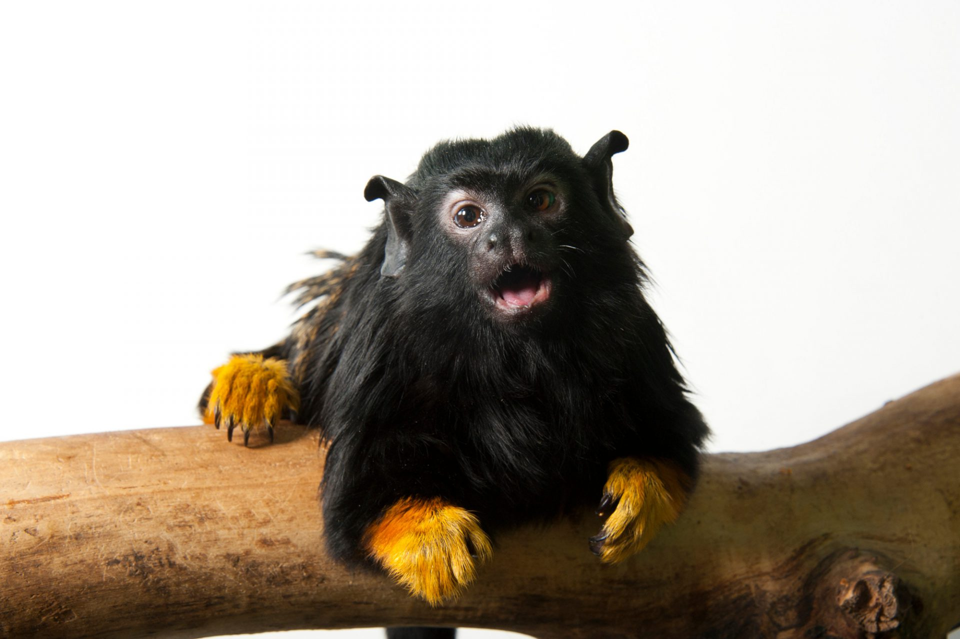 A gold-handed tamarin (Saguinus midas) at the Miller Park Zoo. The future of this species is quite uncertain as it is going to be 'phased out' in favor of other more showy and popular small primate species.