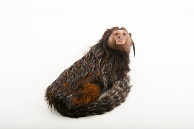 Wied's marmoset (aka Kuhlii's marmoset)(Callithrix kuhlii) at the Lincoln Childrens Zoo.