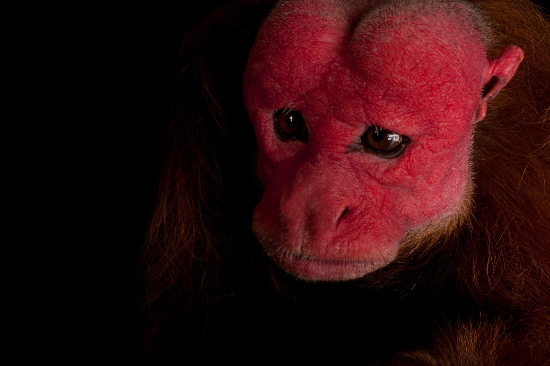 A vulnerable red uakari monkey (Cacajao calvus ucayalii).