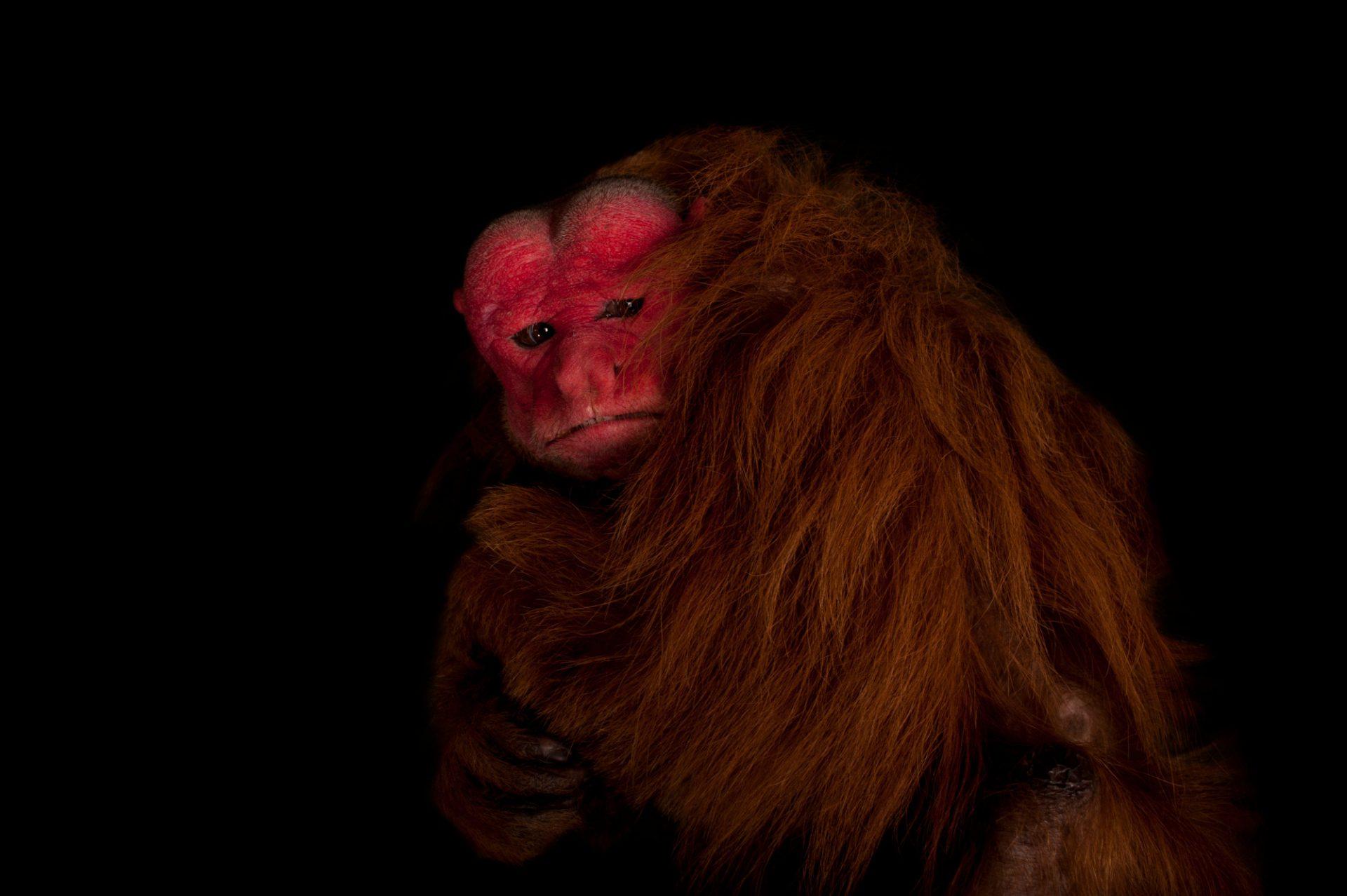 A vulnerable red uakari monkey (Cacajao calvus ucayalii).