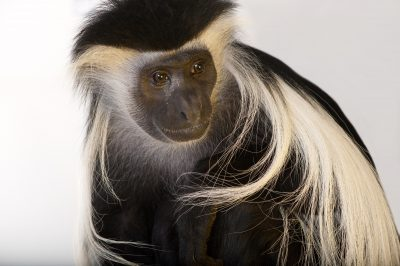 Angola colobus monkey (Colobus angolensis palliates) at the Omaha Zoo.