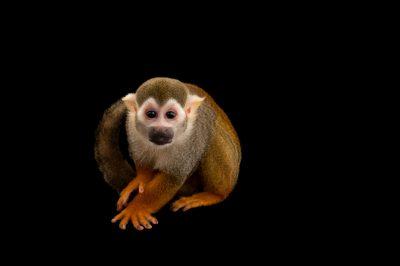 Picture of a common squirrel monkey (Saimiri sciureus) at the Lincoln Children's Zoo.