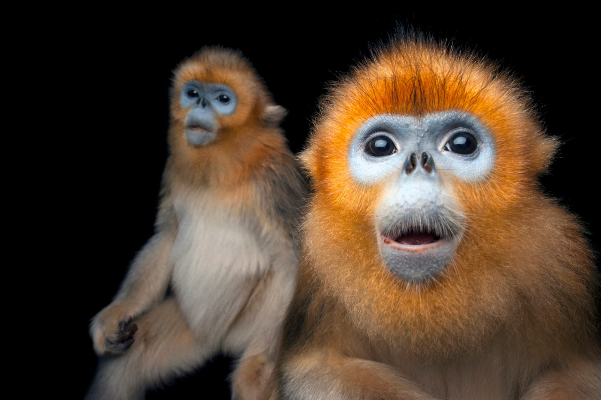 Picture of an endangered (IUCN) and federally endangered golden snub-nosed monkeys (Rhinopithecus roxellana) at Ocean Park.
