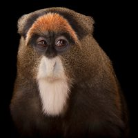 Photo: De Brazza's monkey (Cercopithecus neglectus) at the Omaha Zoo.