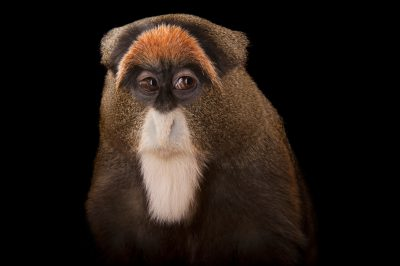 De Brazza's monkey (Cercopithecus neglectus) at the Omaha Zoo.
