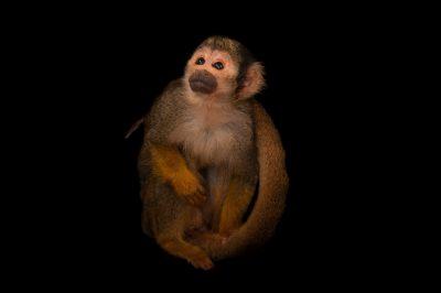 Black-capped squirrel monkey (Saimiri boliviensis) at the Omaha Zoo.