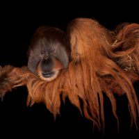 Photo: A male Sumatran orangutan (Pongo abelii) at Rolling Hills Wildlife Adventure near Salina, KS.