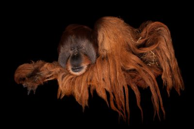 A critically endangered male Sumatran orangutan (Pongo abelii) at Rolling Hills Wildlife Adventure near Salina, KS.