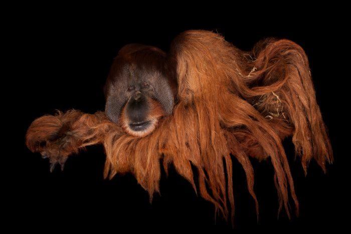 A critically endangered male Sumatran orangutan (Pongo abelii) at Rolling Hills Wildlife Adventure near Salina, KS.