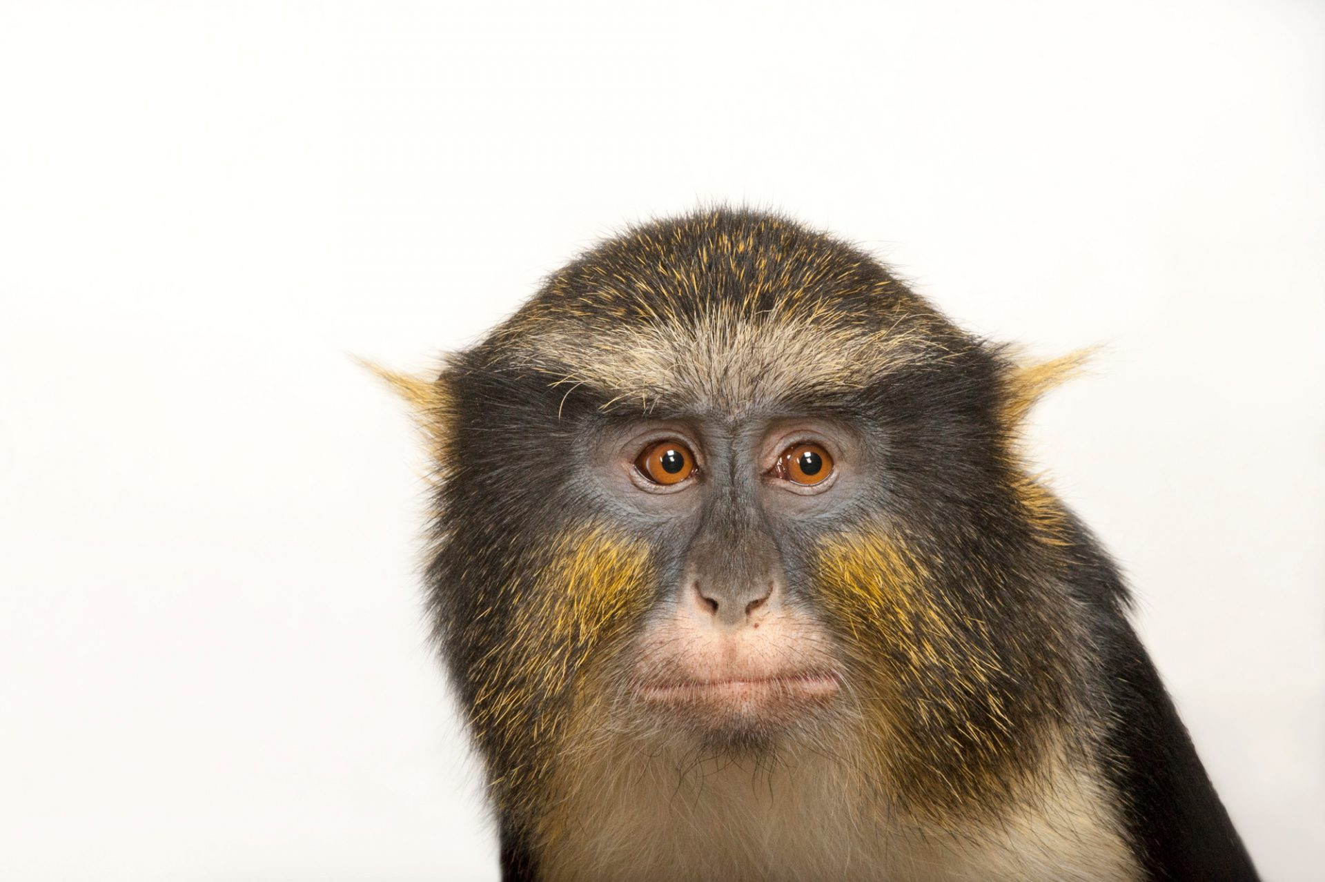Wolf's guenon (Cercopithecus wolfi) at the Cleveland Metroparks Zoo.