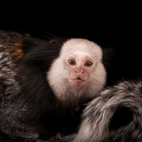 Geoffroy's tufted-ear marmoset (Callithrix geoffroyi) at the Cleveland Metroparks Zoo.