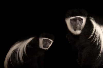 A pair of eastern black-and-white colobus monkeys(Colobus guereza) at the Columbus Zoo.