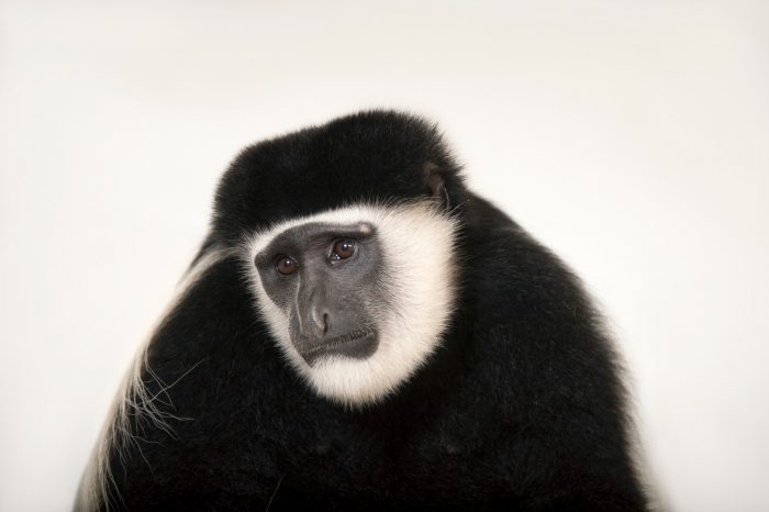 An eastern black-and-white colobus monkey (Colobus guereza) at the Columbus Zoo.