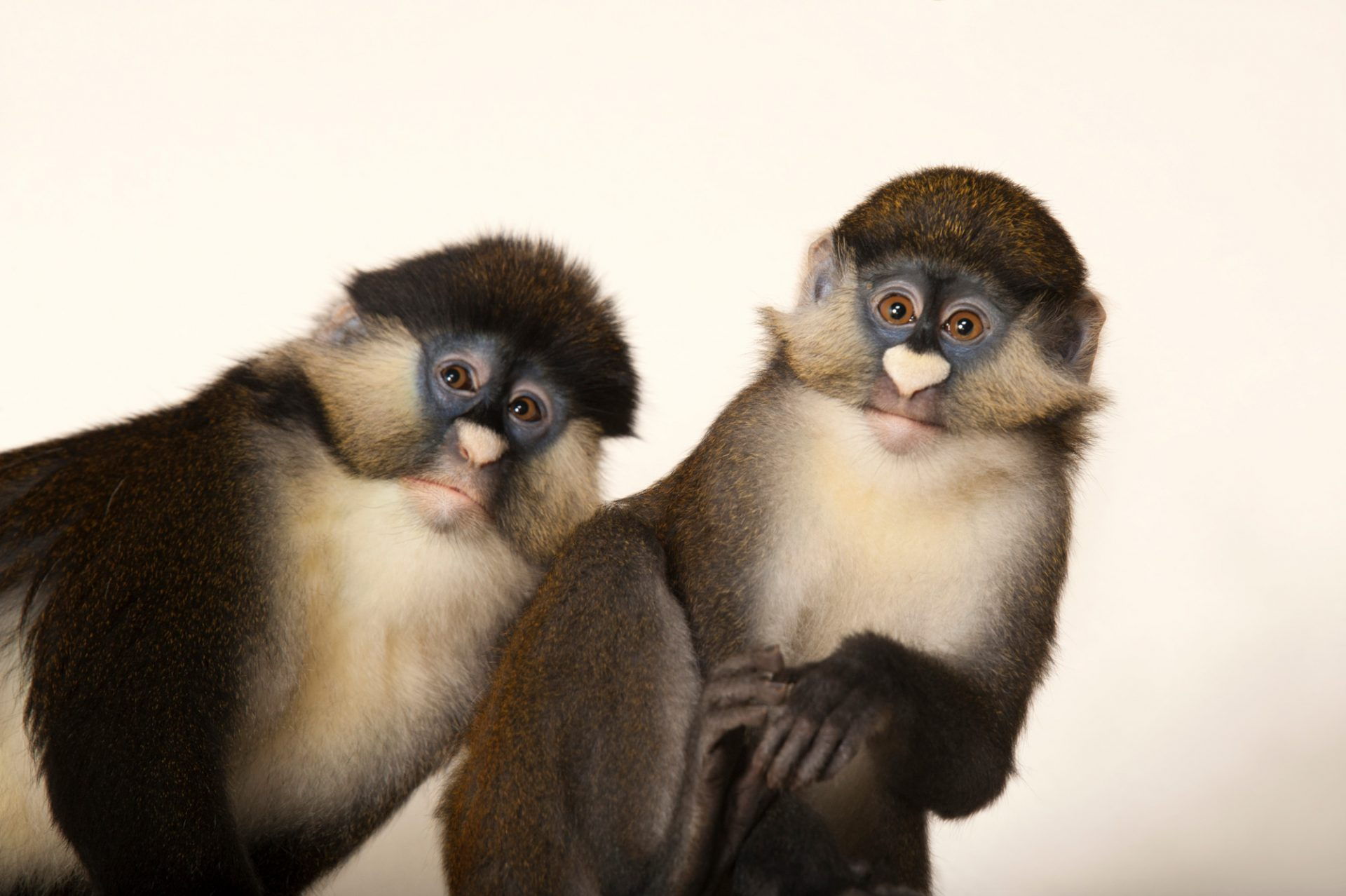 A pair of Schmidt's red-tailed guenons (Cercopithecus ascanius schmidti) at the Houston Zoo.