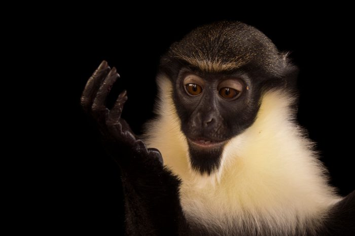 A vulnerable (IUCN) and federally endangered young, female Diana monkey (Cercopithecus diana) at the Omaha Zoo.