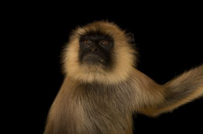 A federally endangered Northern plains gray langur (Semnopithecus entellus) at the Chattanooga Zoo.