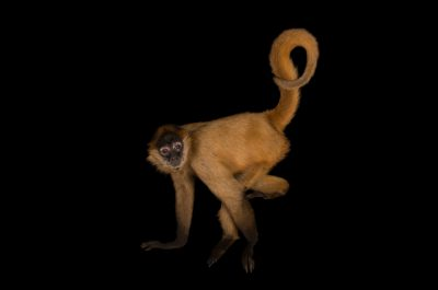A critically endangered Geoffroy's spider monkey (Ateles geoffroyi geoffroyi) at the Chattanooga Zoo.