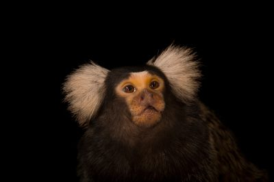 A common marmoset named Ivan (Callithrix jacchus) at the Omaha Zoo.