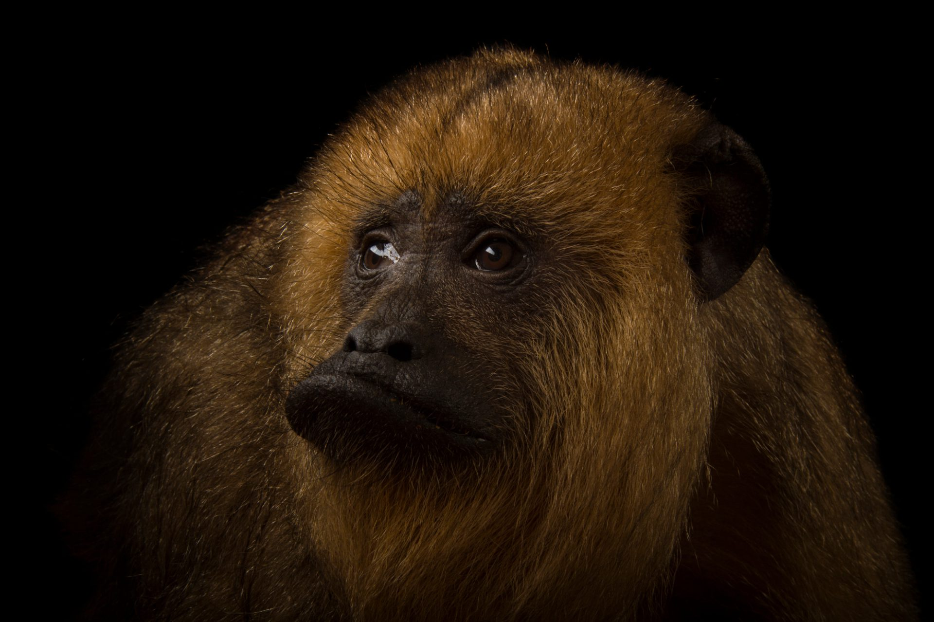An endangered (IUCN) and federally threatened female Guatemalan black howler monkey named Pipi (Alouatta pigra) at the Omaha Zoo.