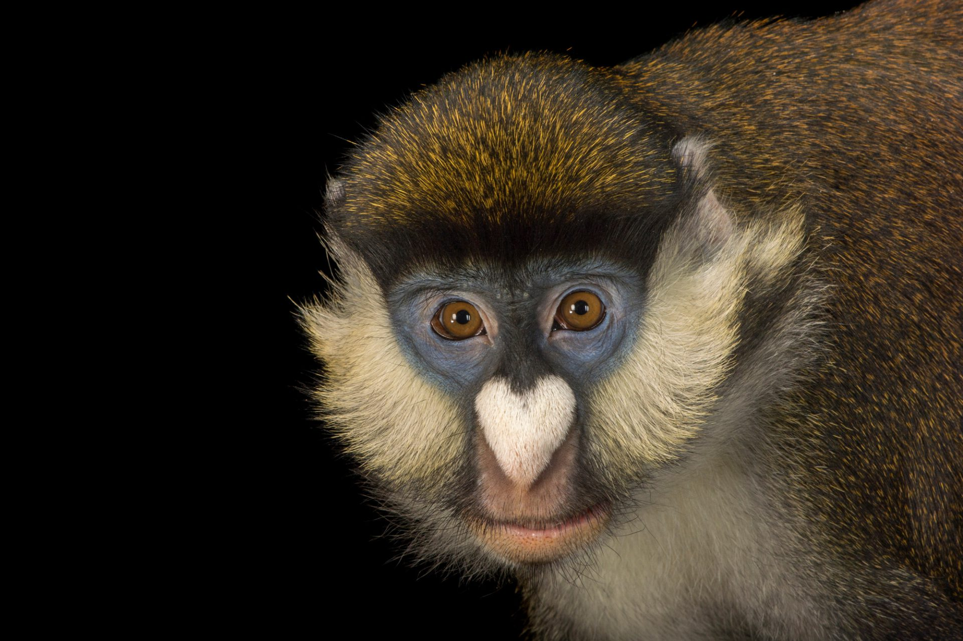 A 10-year-old Schmidt's guenon (Cercopithecus ascanius schmidti) at Zoo Atlanta. This animal's name is Jasiri or J.J.. He is very protective, fun and is the most curious of any monkey at the zoo. Jasiri is really smart and likes to train with his keepers. He enjoys eating peanuts, grapes and craisins.