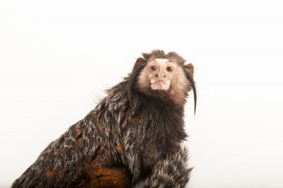 Wied's marmoset (aka Kuhlii's marmoset) (Callithrix kuhlii) at the Lincoln Children's Zoo.