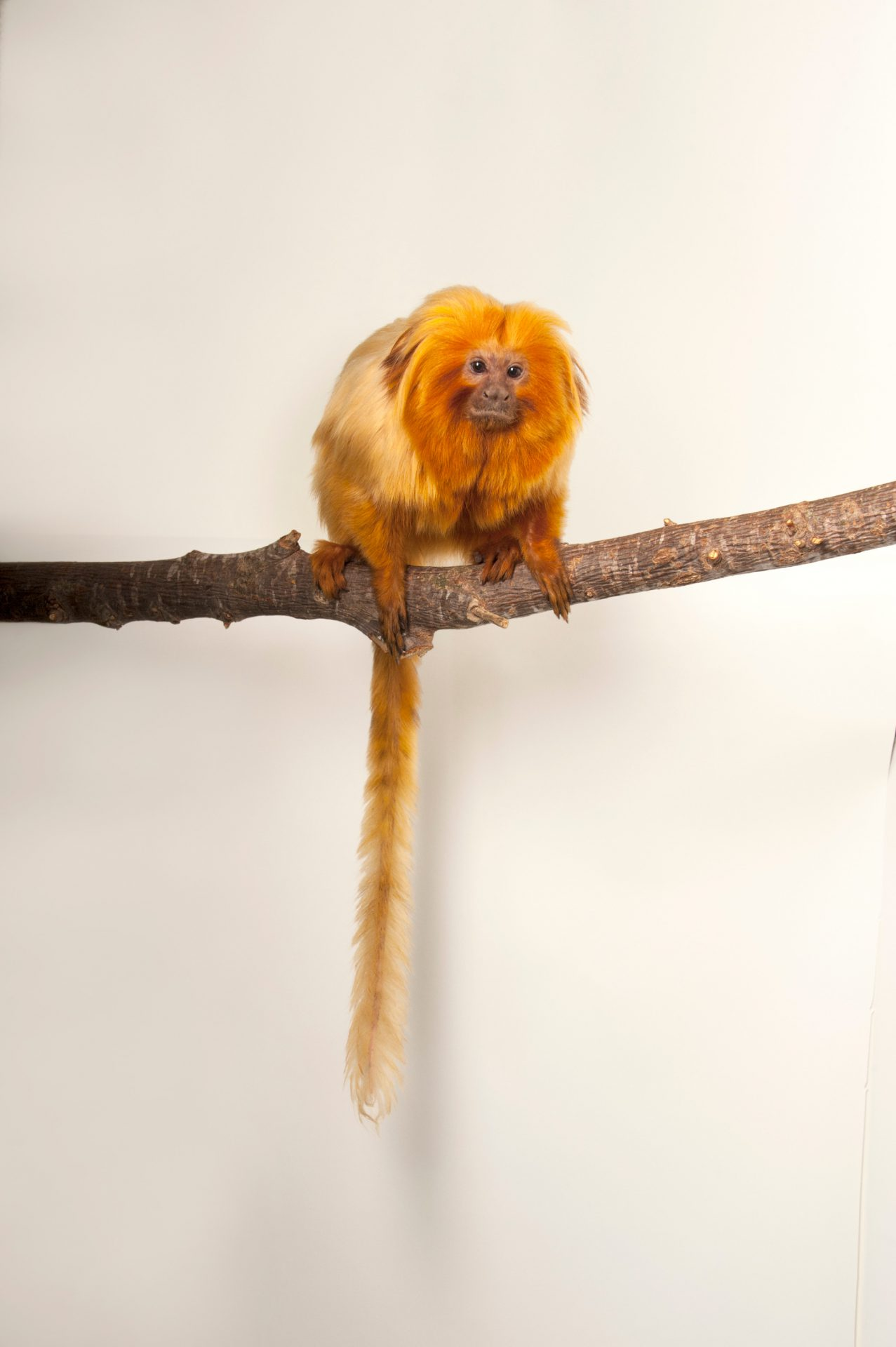 An endangered Golden lion tamarin (Leontopithecus rosalia) at the Lincoln Children's Zoo.
