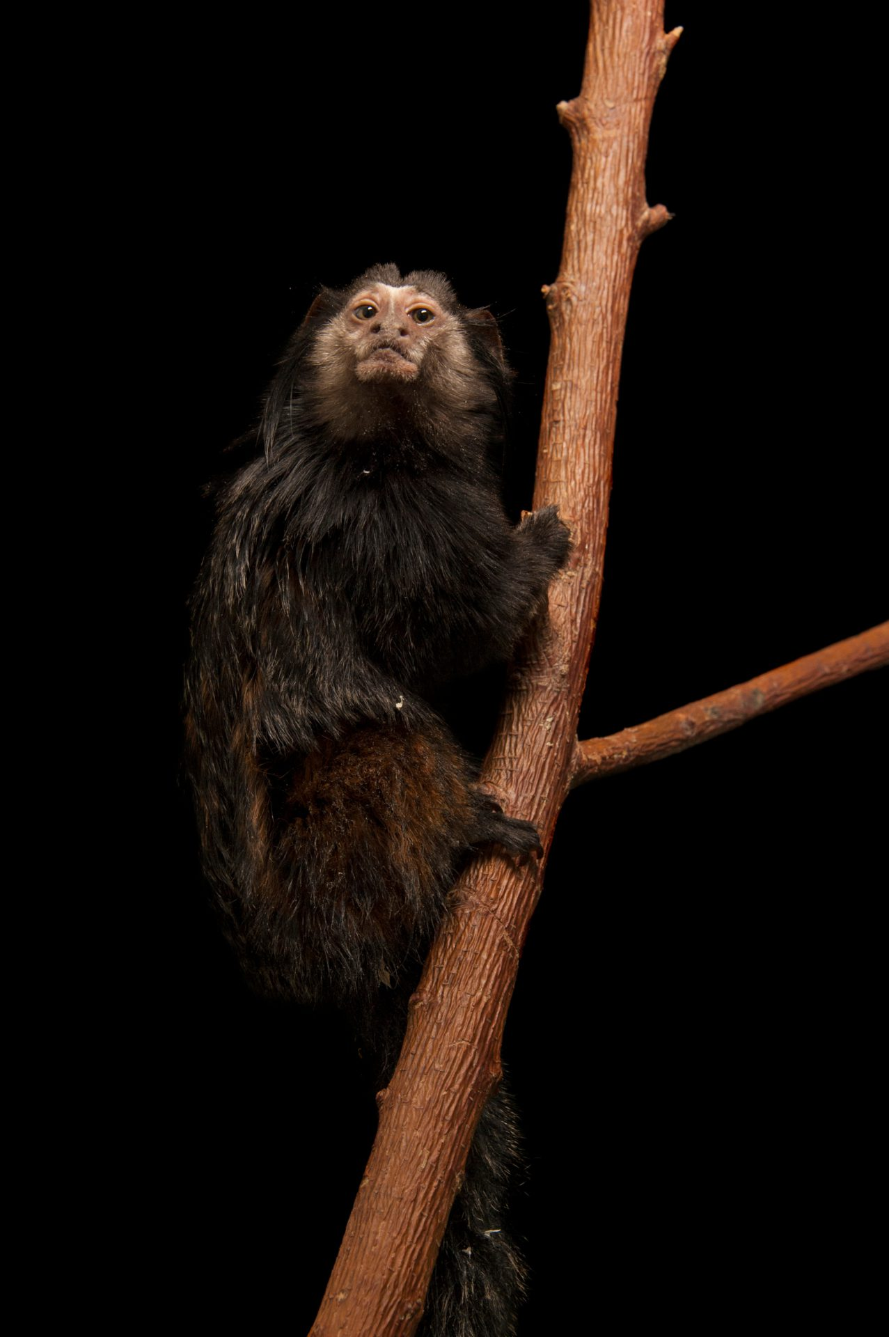 Wied's marmoset (aka Kuhlii's marmoset) (Callithrix kuhlii) at the Lincoln Childrens Zoo.