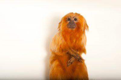 Endangered Golden lion tamarins (Leontopithecus rosalia) at the Lincoln Children's Zoo.